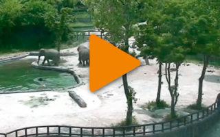 Видео про спасение слоненка. Родители всегда придут на помощь!