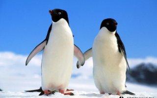Кто на свете всех милее? — Пингвины!
