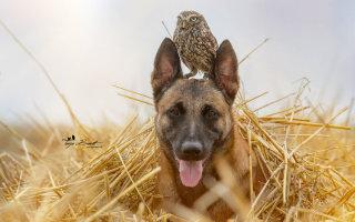 Необычная дружба: собака и сова (20 фото)