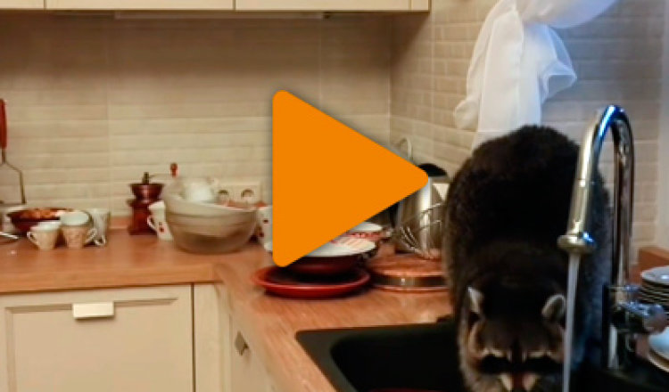 Видео «Хозяйственный енот»