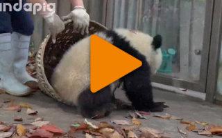 Видео «Эти панды как дети малые!»