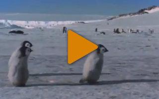 Видео «Первые шаги маленького пингвина»