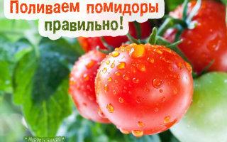 Как часто и правильно поливать помидоры, чтобы был отличный урожай