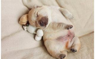 Фото «Спят усталые собачки, мило спят…»