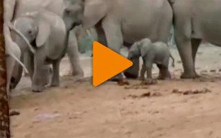 Вот это настоящая семья! Трогательное видео о спасении слонёнка