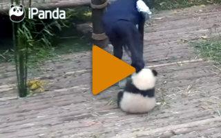 Видео «Любвеобильная панда, которая любит обнимашки»