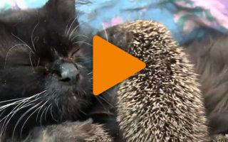 Видео «Мама Муся: кошка, которая усыновила ёжиков»