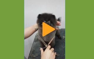 Видео «Танцующий пёсик во время стрижки»