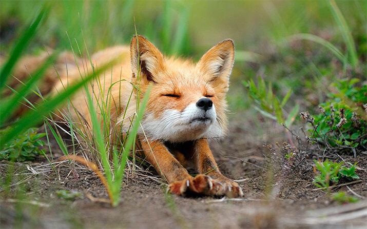 Фото «Хитрые лисички»