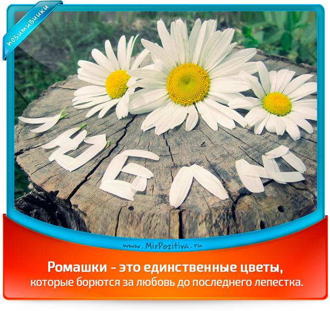 Ромашки - это единственные цветы, которые борются за любовь до последнего лепестка.
