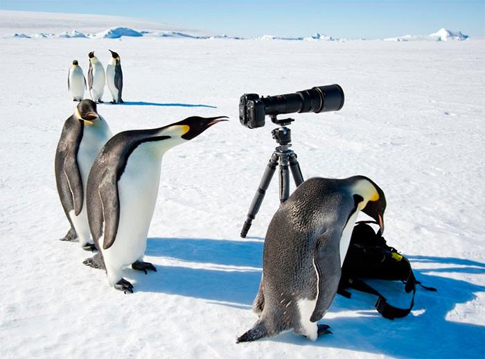 пингвины фотографируются