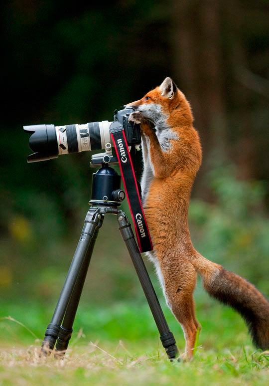 лисичка фотографирует