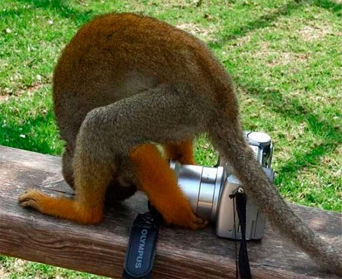 обезьянка делает селфи