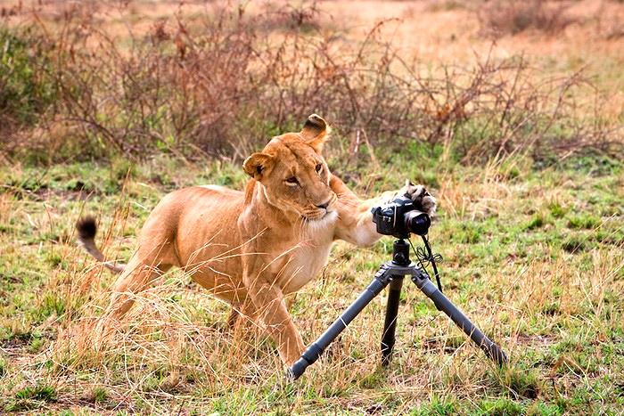 лев щелкает кадр