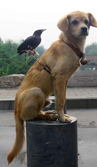 Пёс и ворона