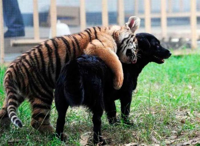 тигр и собака