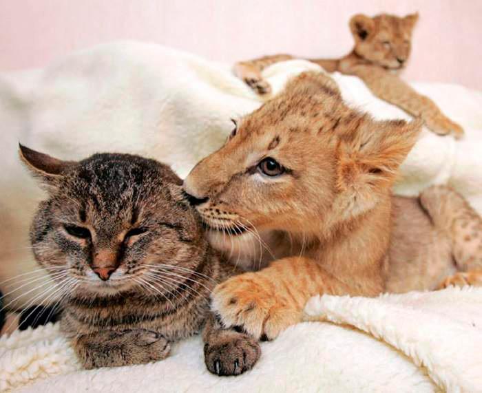 кот и львенок