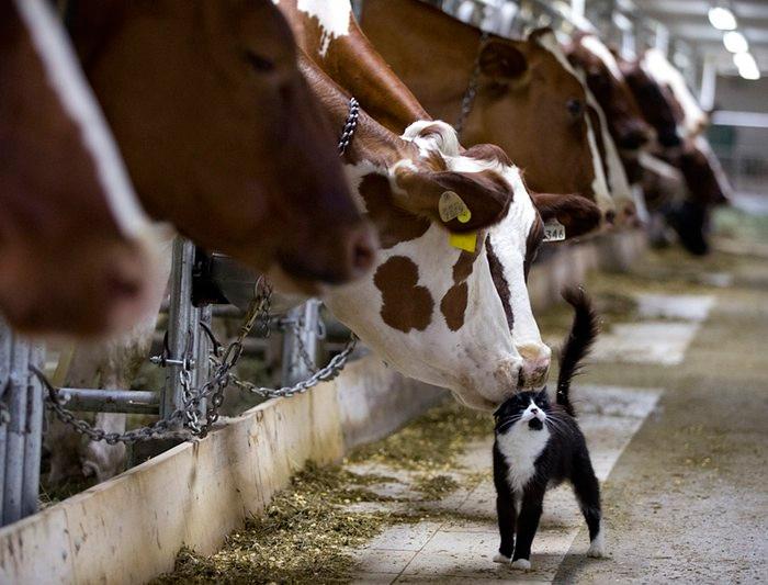 корова лижет кота