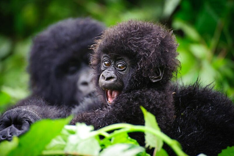 детеныш гориллы