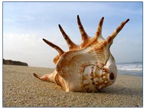 раковина морская