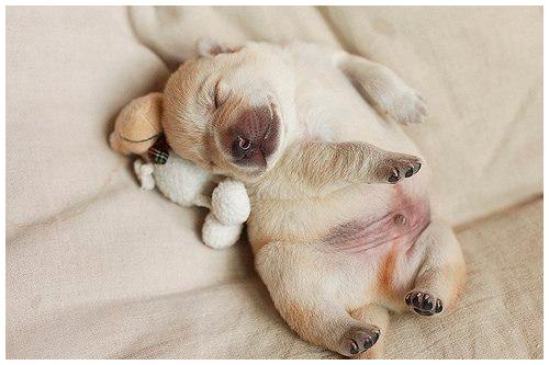 Фото «Спят усталые собачки, мило спят...»