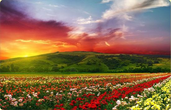 поле роз, цветов