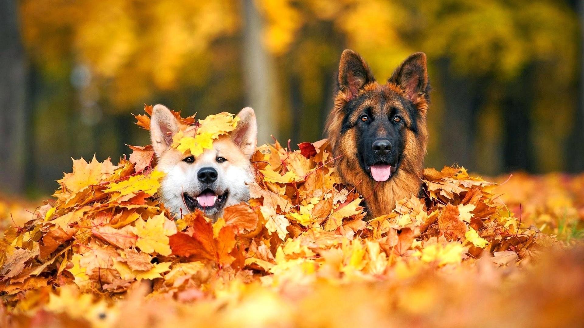 собаки в листве