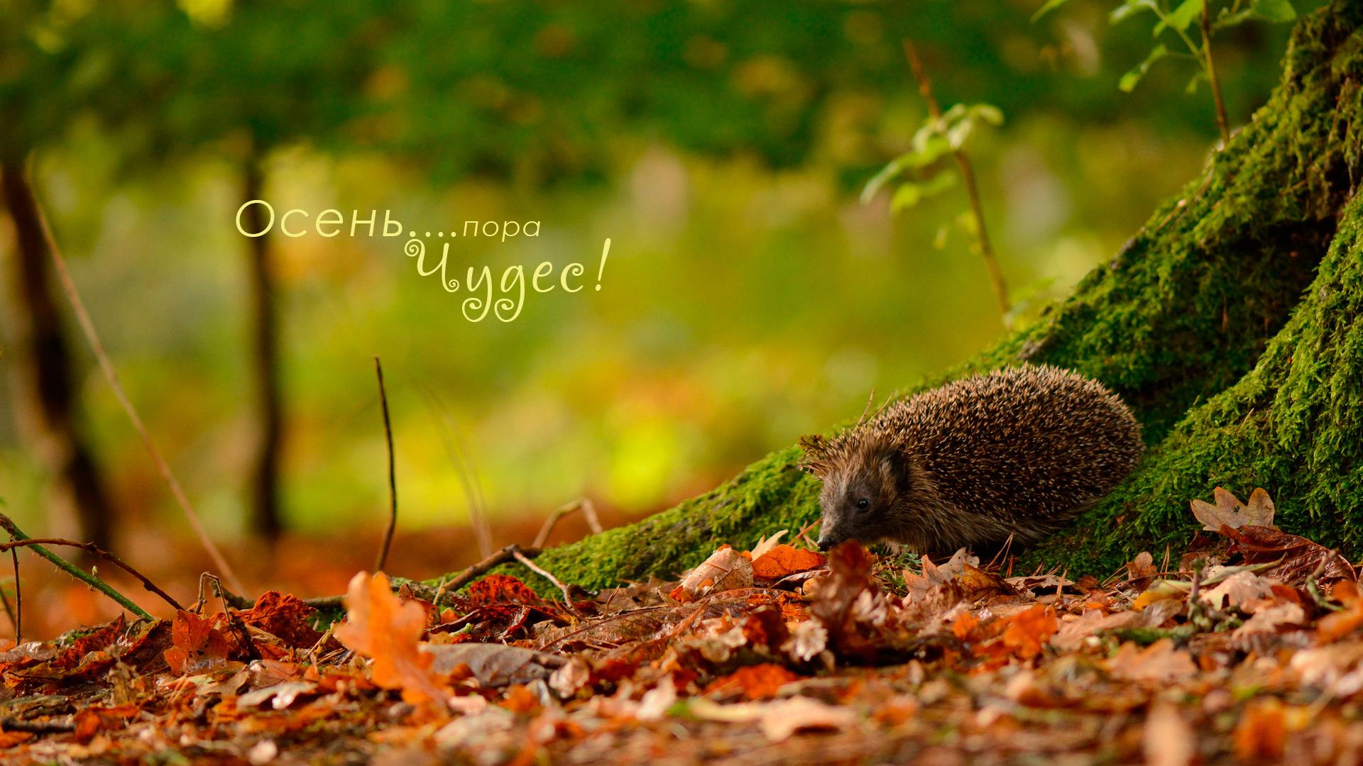 осень - пора чудес - ежик в листве