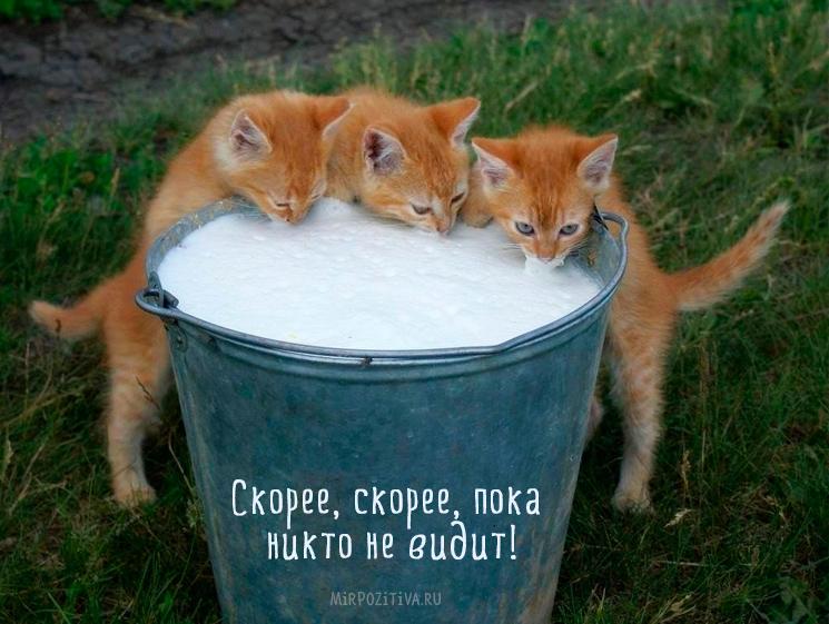 котята пьют парное молоко из ведра