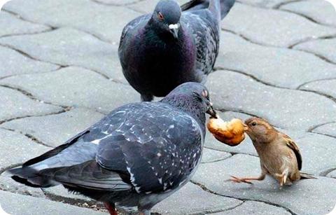 голубь отнимает хлеб у воробья