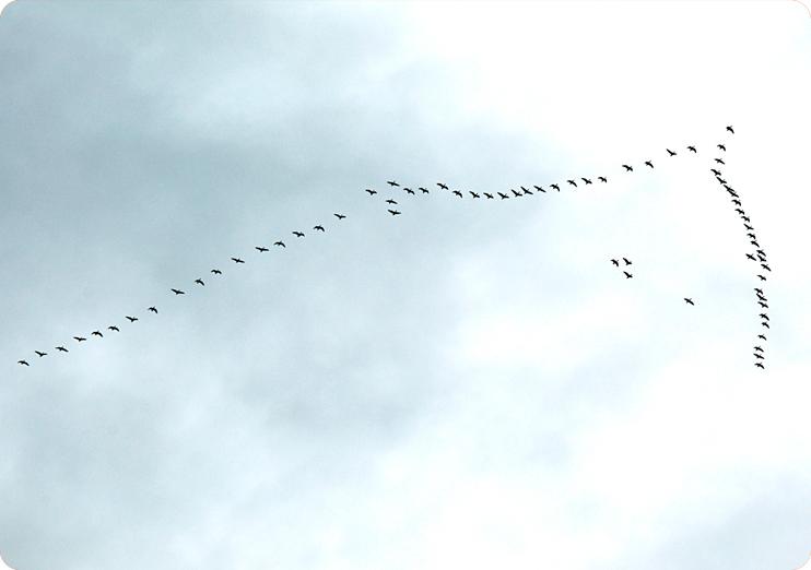 большой косяк гусей