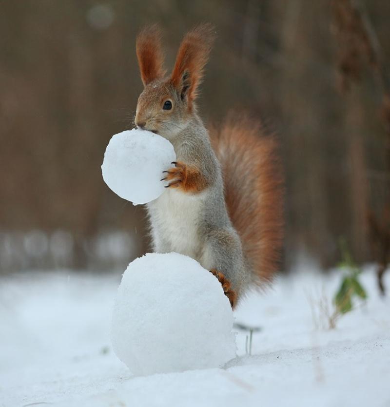 белка играет со снегом