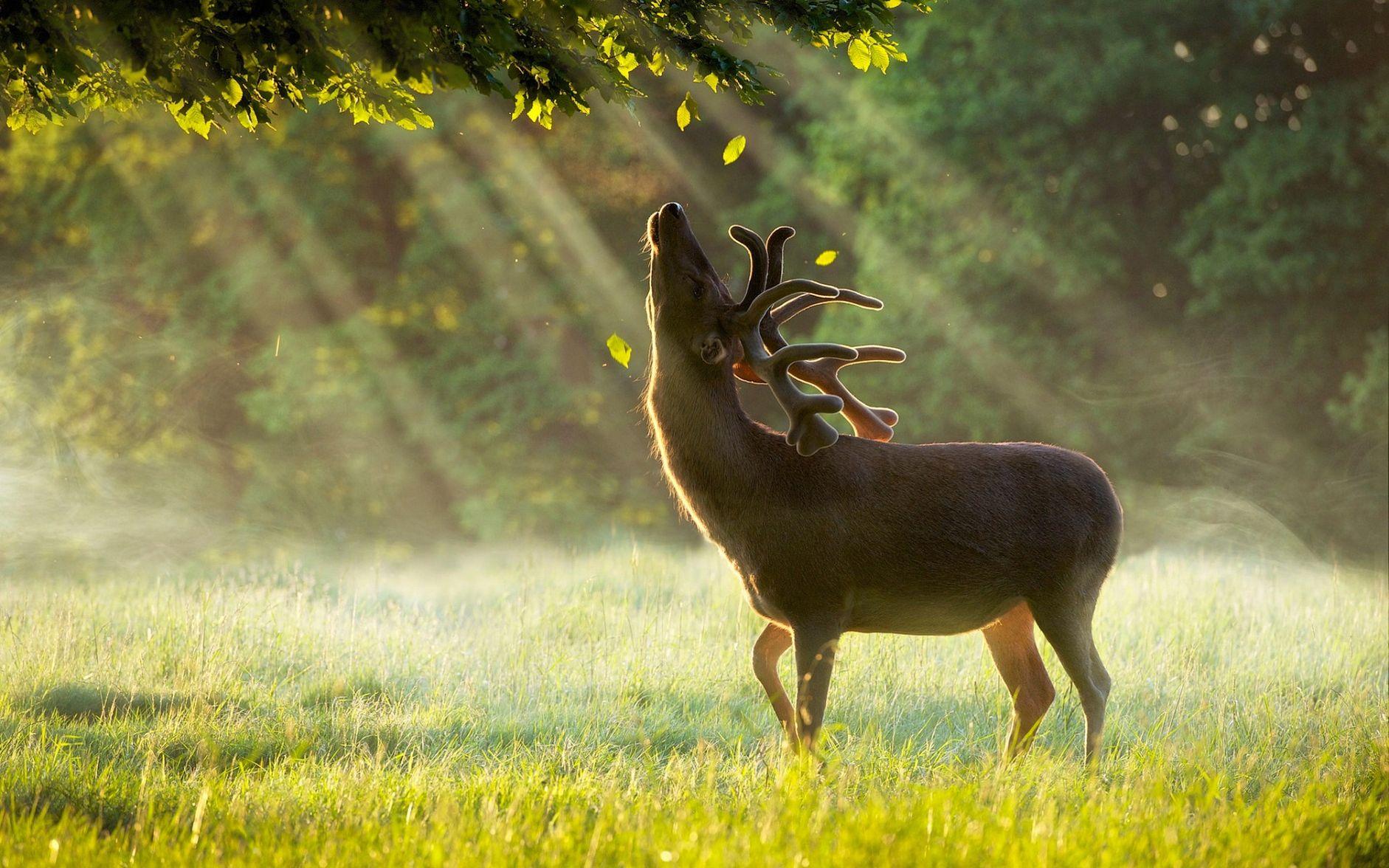олень утро в лесу