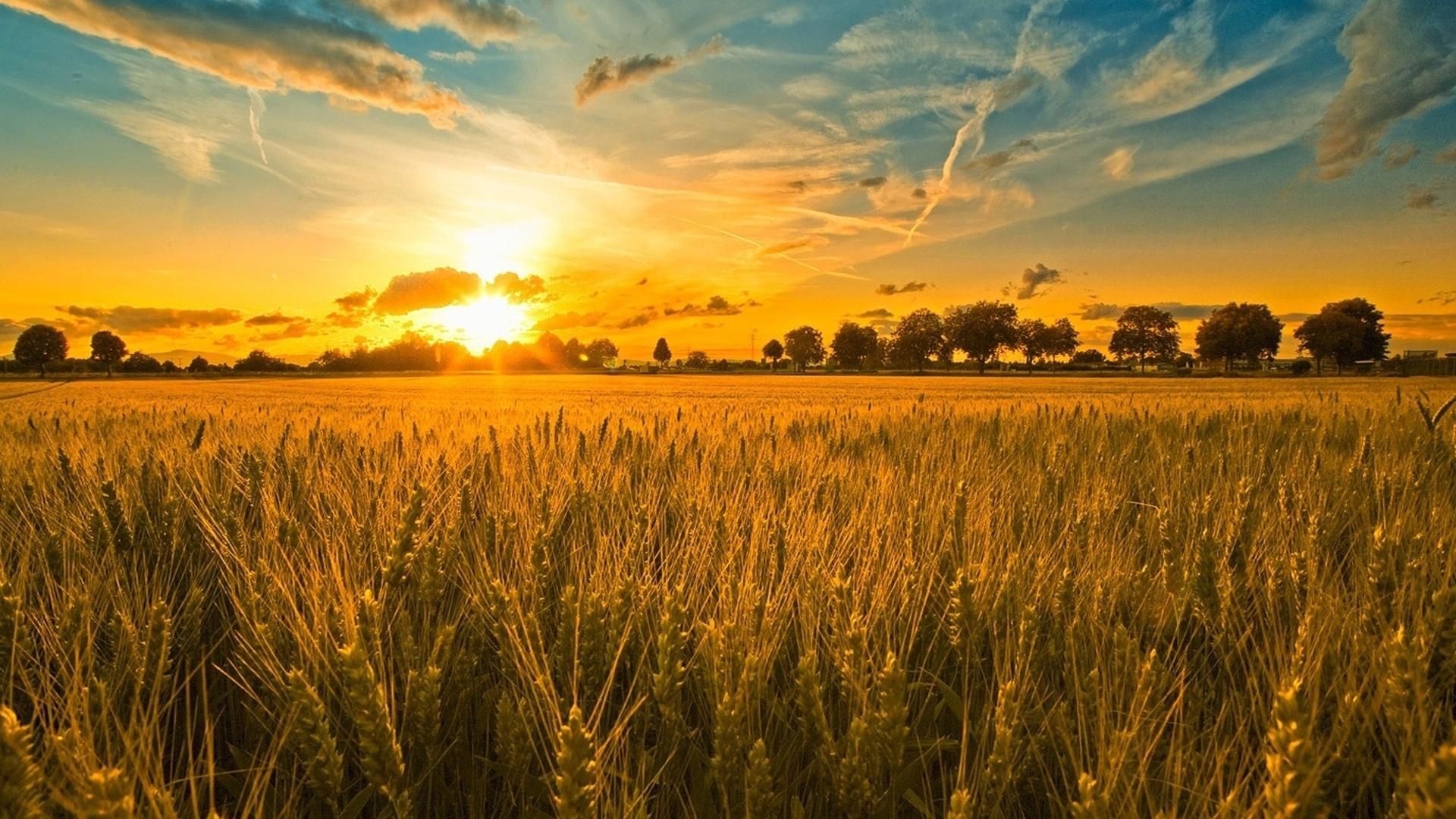 поле колосья злаки рассвет