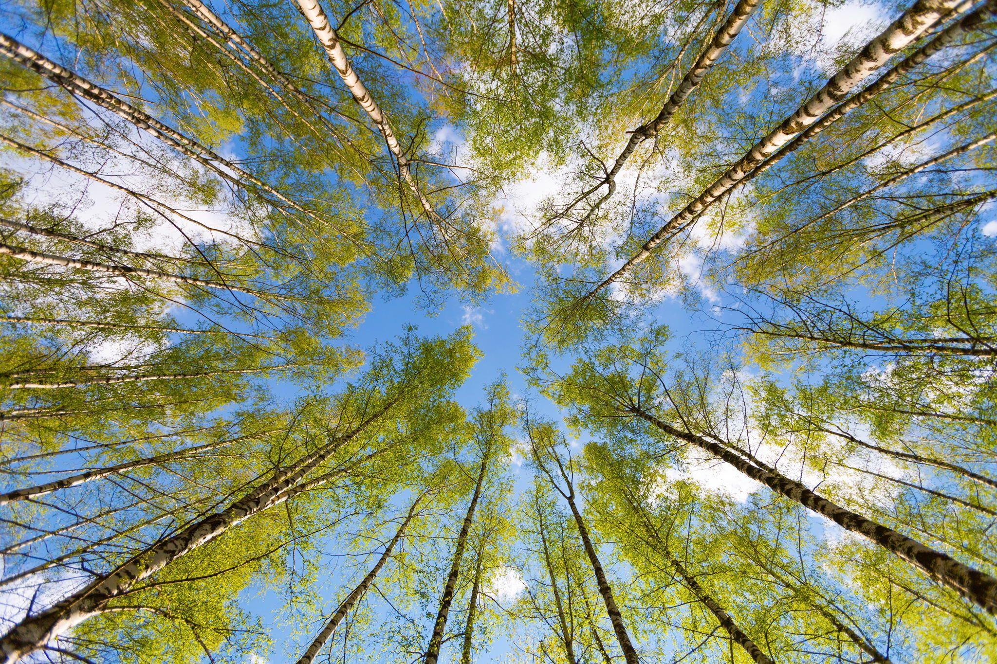 лес небо весна