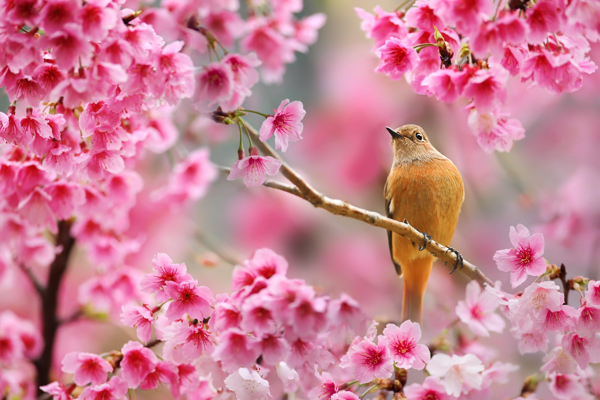 птичка на ветке сакуры