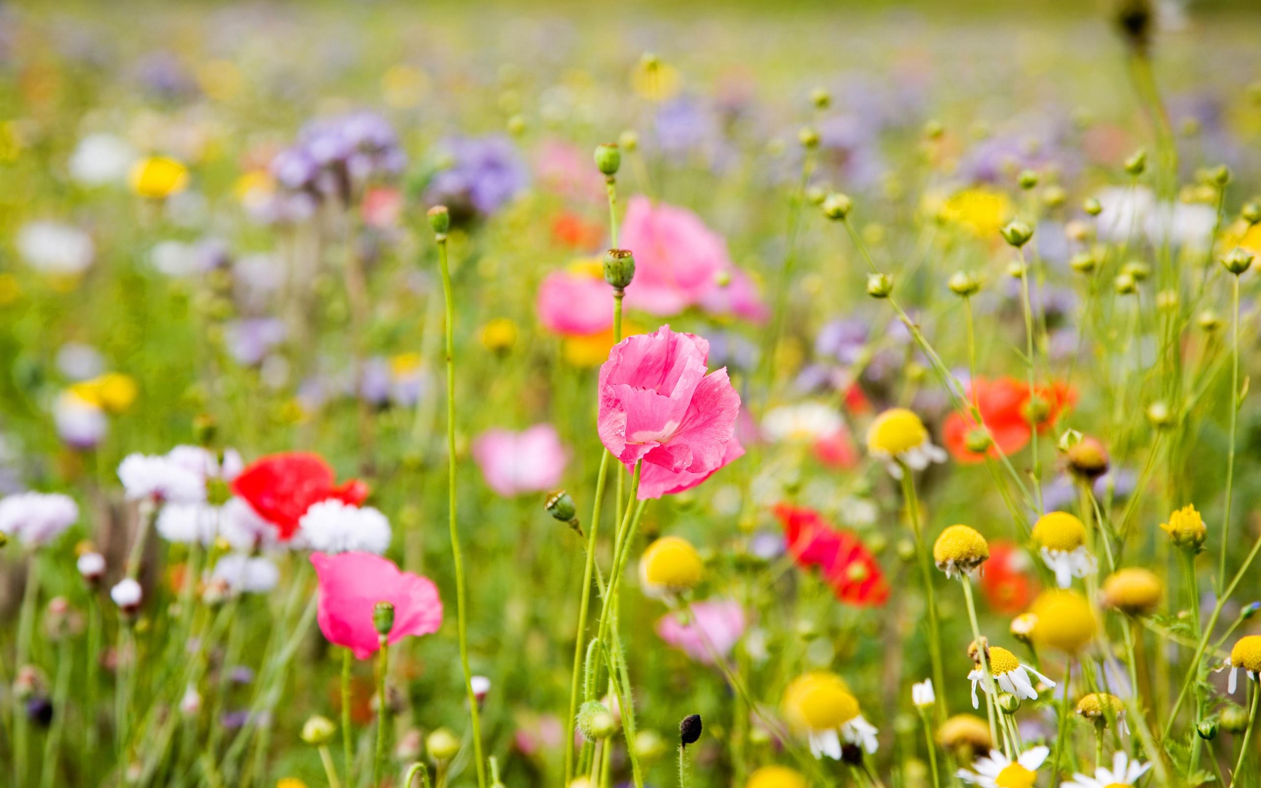 маки цветут