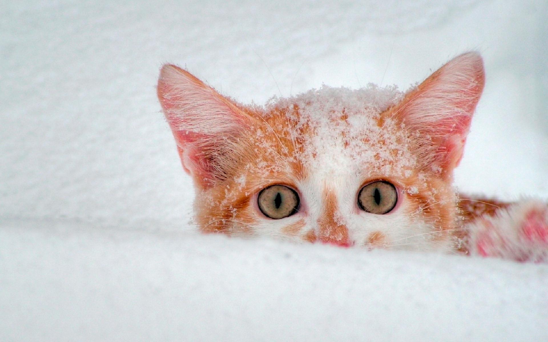 рыжий кот в снегу