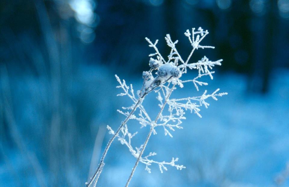 травинка в снегу