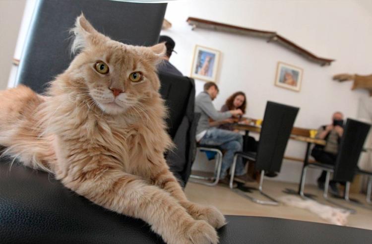 кот в котокафе