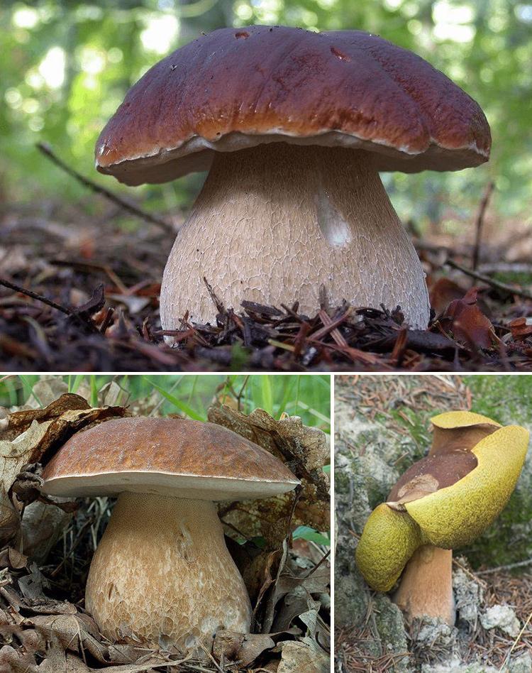 белый гриб в лесу