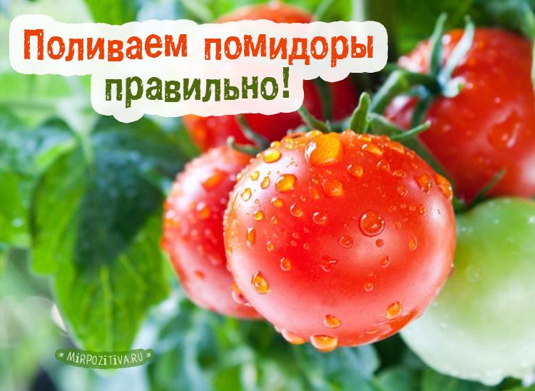 помидоры поливка
