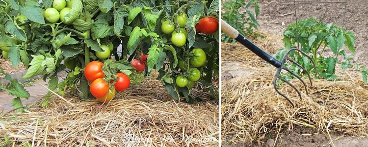 мульчирование томатов
