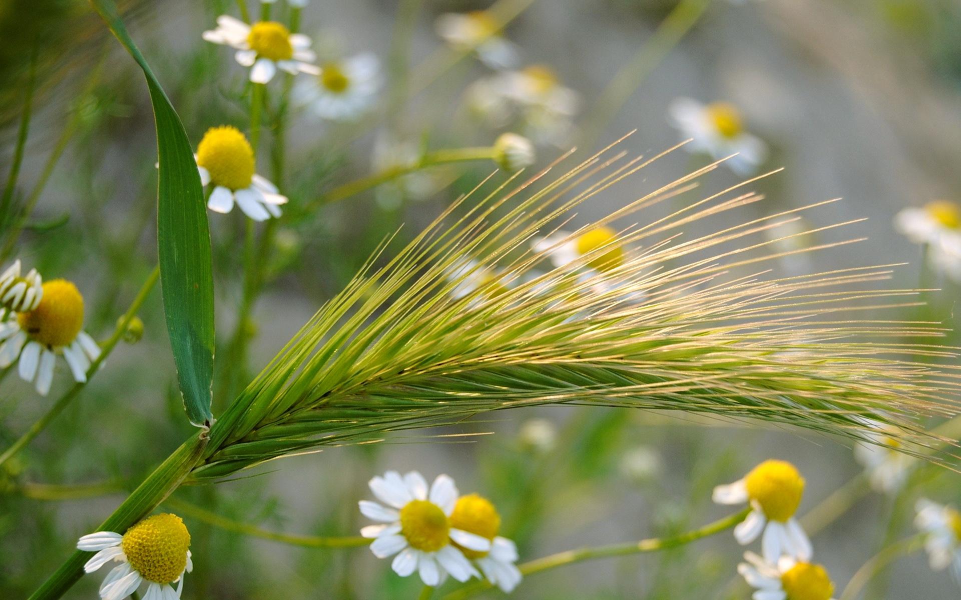 колос, ромашка, трава