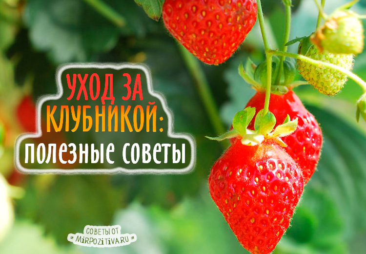 Уход за клубникой в деталях: советы опытных садоводов