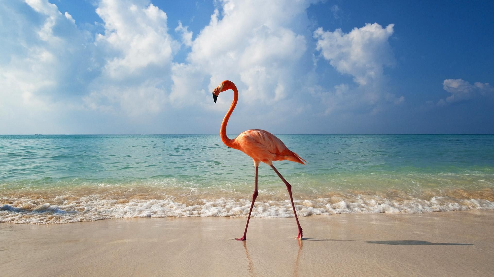 розовый фламинго у воды