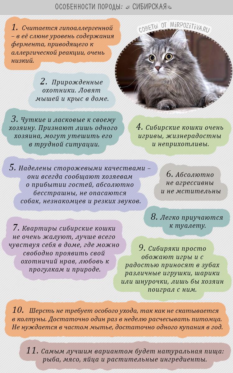 Сибирская порода особенности советы