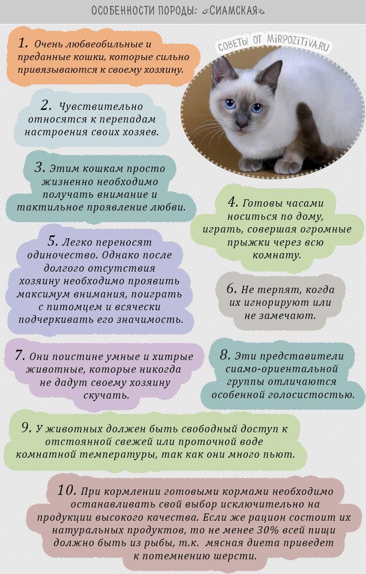 Сиамская кошка особенности породы