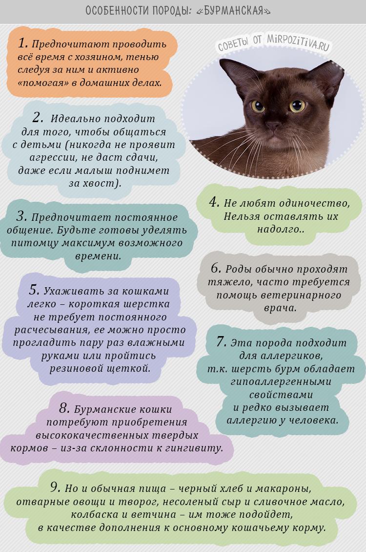 Бурманская кошка описание особенности