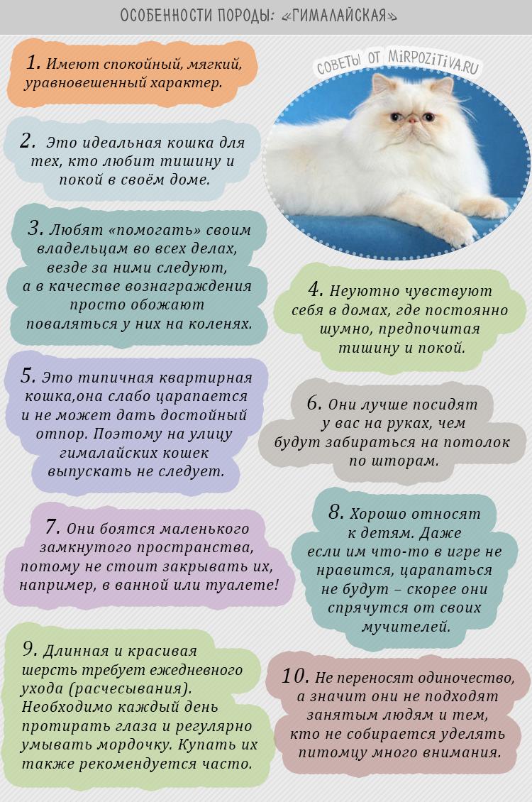гималайская порода кошек описание особенности